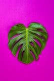 Zielony tropikalny palmowy liść na menchiach barwił tło Minimalnego mieszkania nieatutowy styl Koszt stały, odgórny widok, kopii  Fotografia Royalty Free