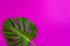 Zielony tropikalny palmowy liść na menchiach barwił tło Minimalnego mieszkania nieatutowy styl Koszt stały, odgórny widok, kopii  Zdjęcia Stock