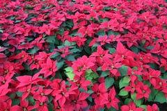 Zielony Tropikalny poinsecja żywopłot z Czerwonymi kwiatami zdjęcia stock