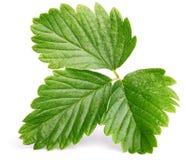 Zielony truskawkowy liść odizolowywający na bielu Zdjęcie Royalty Free