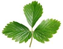 Zielony truskawkowy liść odizolowywający na bielu Obraz Royalty Free