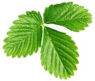 Zielony truskawkowy liść odizolowywający na bielu Zdjęcia Royalty Free