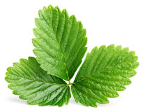 Zielony truskawkowy liść odizolowywający na bielu Zdjęcie Stock