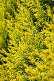 Zielony tui drzewo Obraz Stock