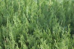Zielony tui tło makro- Obraz Stock