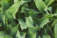 Zielony tulipan opuszcza zbliżenie Fotografia Stock