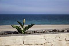 Zielony tulipan w kwiatu łóżku w tle morze Zdjęcie Stock