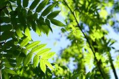 zielony ulistnienia niesamowite liści, Obraz Royalty Free