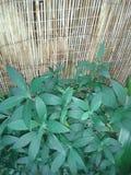 Zielony ulistnienie Zdjęcie Stock