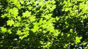 zielony ulistnienie klonowi drzewa iluminujący słońcem zdjęcie stock