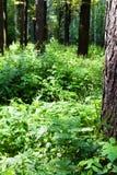 Zielony ulistnienie lasowy porośle w lecie obraz royalty free