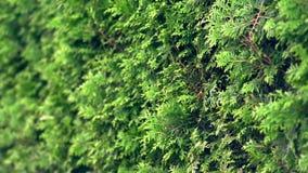 Zielony ulistnienie linia cyprysowi drzewa zbiory wideo