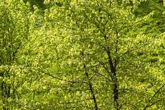 Zielony ulistnienie lipowy Obraz Royalty Free