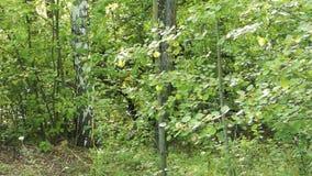 Zielony ulistnienie poruszający na wiatrze, brzozy drzewo za zbiory wideo