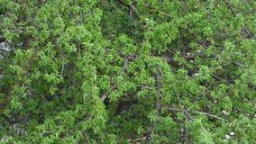 Zielony ulistnienie poruszający na wiatrze Naturalny tło zdjęcie wideo