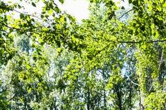 Zielony ulistnienie topolowy drzewo w lesie w lecie obraz royalty free