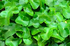 Zielony vagetable Zdjęcia Stock