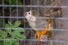 Zielony Vervet małpy Chlorocebus sabaeus siedzi obraz royalty free