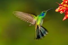 Zielony Violetear unosić się Fotografia Stock