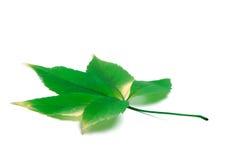 Zielony Virginia pełzacz opuszcza na białym tle z odbitkowym spac Zdjęcia Royalty Free