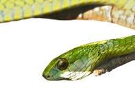 zielony wąż Obrazy Stock