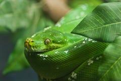 zielony wąż Zdjęcie Stock