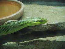 zielony wąż Zdjęcia Stock