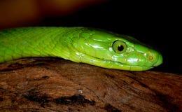 zielony wąż mamba Zdjęcia Stock