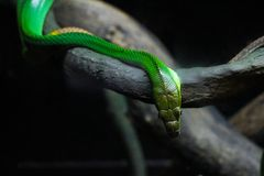 Zielony wąż na brown gałęziastej dzikiej naturze Fotografia Stock