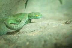 Zielony wąż w Tajlandia dżungli Obraz Royalty Free
