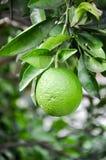 Zielony wapna dojrzenie na drzewie obraz royalty free