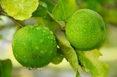 Zielony wapno z liśćmi Zdjęcia Stock