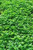Zielony warzywa pole Fotografia Stock