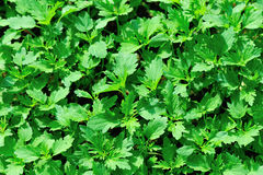 Zielony warzywa pole Zdjęcie Stock
