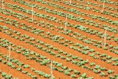 Zielony warzywa pole blisko Lang Biang góry, Da Lat miasta, zwiania Dong prowincja, Wietnam Obraz Stock