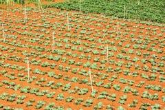 Zielony warzywa pole blisko Lang Biang góry, Da Lat miasta, zwiania Dong prowincja, Wietnam Zdjęcie Stock