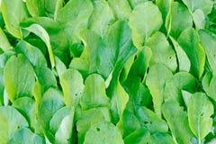 Zielony warzywa tło Fotografia Royalty Free