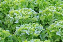 Zielony warzywo Obrazy Stock