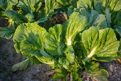 Zielony warzywo Obraz Royalty Free