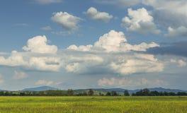 Zielony wheatfield Obrazy Stock