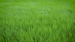 Zielony widok ryżowej rośliny chlanie w wiatrze zbiory