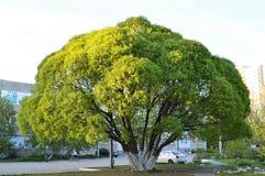 Zielony wierzbowy drzewo na zmierzchu Fotografia Stock