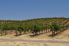 zielony winnica Zdjęcie Royalty Free