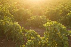 zielony winnica Fotografia Royalty Free