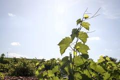 Zielony winnica w Castilla losu angeles mancha Obrazy Royalty Free