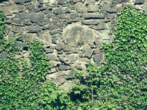 Zielony winograd na kamiennej ścianie Zdjęcie Royalty Free