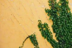 Zielony winograd na kolor żółty ścianie Zdjęcia Royalty Free