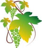 Zielony winogrono Obrazy Stock