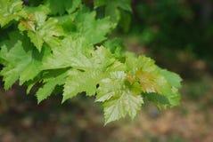 zielony winogrono liść Zdjęcie Royalty Free