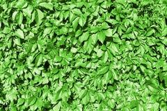 Zielony winogrono opuszcza żywopłotu tła, pełzacza pięcia rośliny, Parthenocissus lub Virginia, zielony ulistnienie tekstury tło  zdjęcie stock
